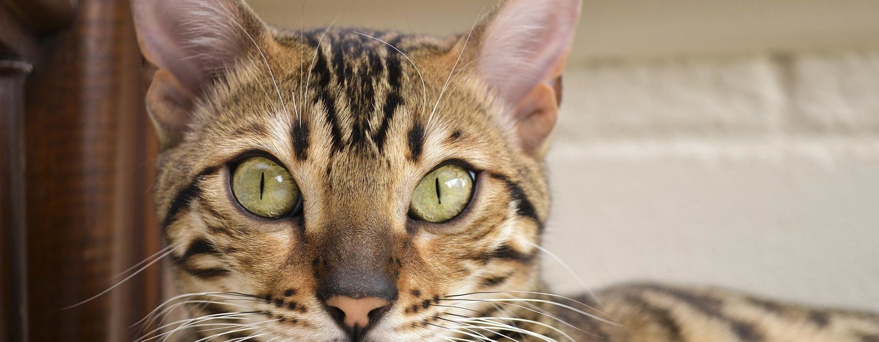 Bengal Cat Price Guide - How Much Do Bengals Really Cost?