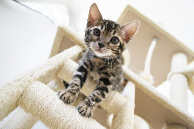 bengal kitten price